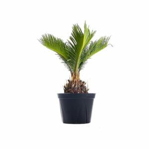 цикас купить, саговую пальму купить, саговая пальма