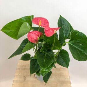 Антуриум Андре Ариса Пинк, Anthurium andraeanum Arisa Pink, Антуриум Ариса Пинк купить, Anthurium Arisa Pink купить, антуриум розовый купить