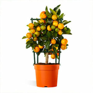 Комнатный апельсин Ориана, Комнатный апельсин купить, апельсин Ориана, апельсин Ориана купить, апельсиновое дерево купить, купить дерево апельсина