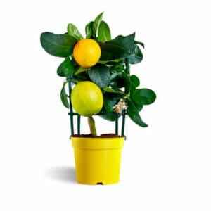 лимон, купить саженцы лимона, лимонное дерево купить, Лимон Мейер, лимонное дерево купить