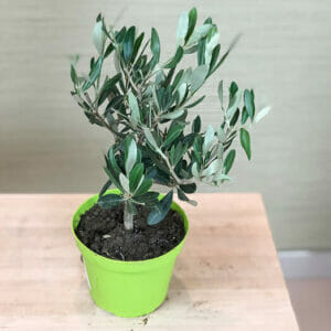 Саженцы оливкового дерева, Олива европейская ,Маслина европейская, Оливковое дерево купить, Оливковое дерево