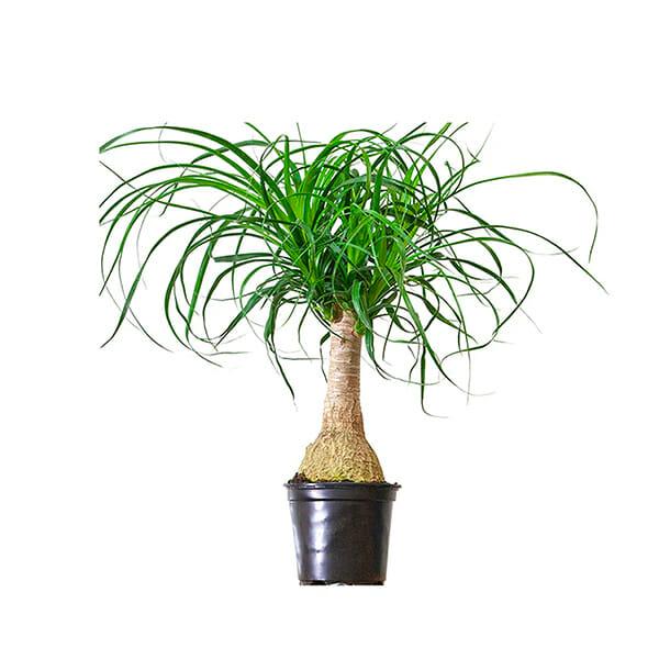 Нолина купить, нолина бокарнея купить, Бутылочное дерево , Бутылочное дерево купить