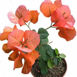 Бугенвиллия Scarlet Glory Orange, Как поливать бугенвиллию, Бугенвиллия полив