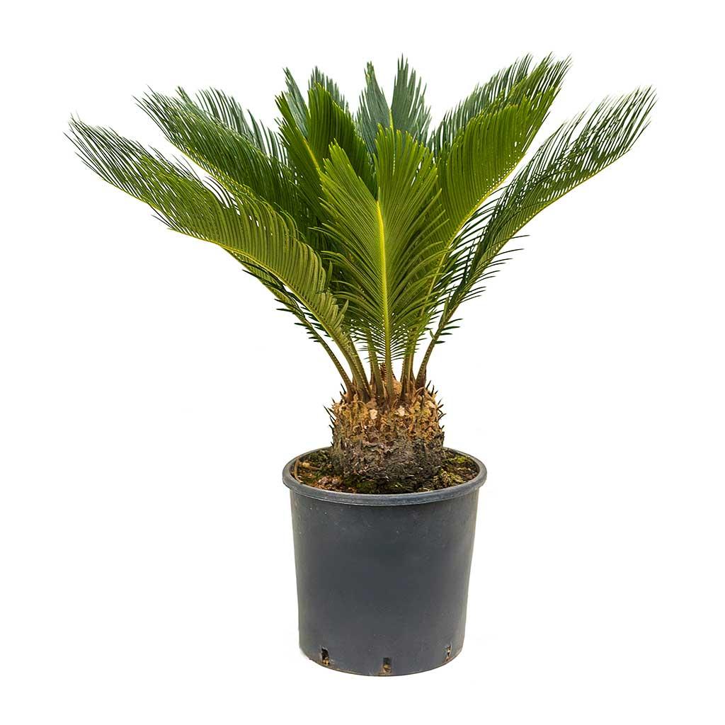 Цикас, цикас купить, саговая пальма, саговая пальма купить, Cycas Revoluta, Cycas Revoluta купить