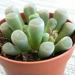 Суккуленты – succulentus