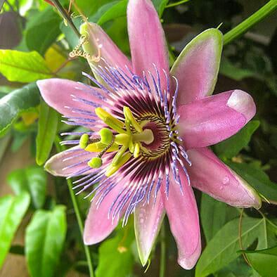 пассифлора Beauty Star