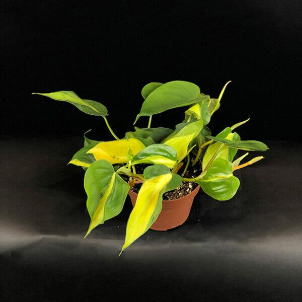 Филодендрон бразильский Scandens brasil, Филодендрон бразильский, филодендрон Scandens brasil, Philodendron Brasil