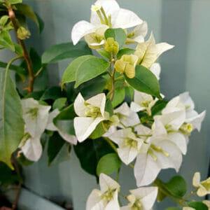 Бугенвиллия белая, Бугенвиллия белая купить, Bougainvillea White cascade, бугенвиллия купить самара