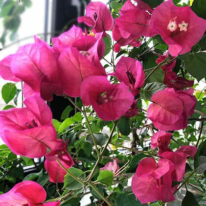 Bougainvillea Don Mario, бугенвиллия, бумажный цветок, бугенвилия