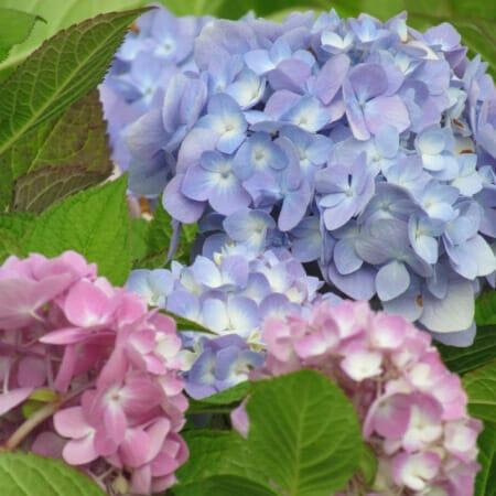 Гортензия розово-голубая, Гортензия розово-голубая купить, Гортензия Эндлесс Саммер Ориджинал, Гортензия Эндлесс Саммер Ориджинал купить