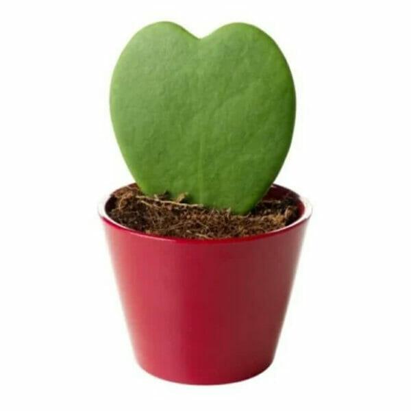 Хойя, хояй кери, Хойя купить, хояй кери купить, растение сердечко, растение сердечко купить