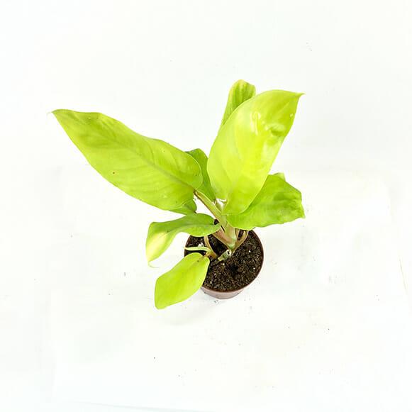 Филодендрон Малайское золото, Philodendron Malay Gold, Филодендрон салатовый, Филодендрон редкий, филодендрон лимонный