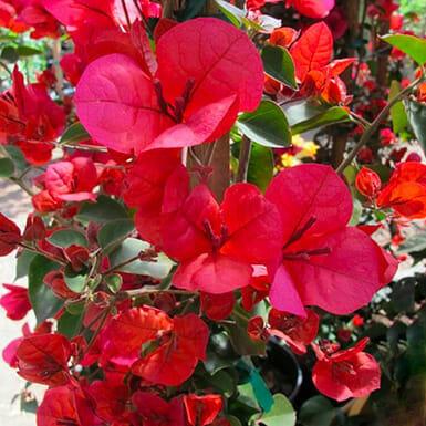 бугенвиллия вариегатна, бугенвиллия вариегатная купить, Бугенвиллия San Diego Red, Бугенвиллия San Diego Red купить