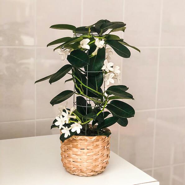 стефаностис купить, стефанотис самара, стефанотис купить самара, горшечные растения, растения в горшке, растения вг оршках, цветы в горшках, цветы в горшке купить, цветы в горшках купить