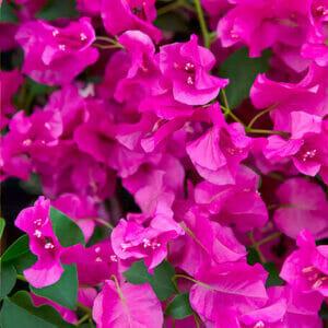 Бугенвиллия Temple Fire, комнатное растение бугенвиллия, Почему не цветут бугенвиллии