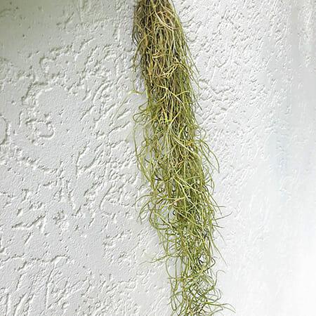 тилландсия уснеевидная, тилландсия уснеевидная купить, испанский мох, испанский мох купить, Tillandsia Usneoides