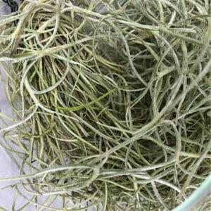тилландсия уснеевидная купить, испанский мох, испанский мох купить, Tillandsia Usneoides, тилландсия уснеевидная