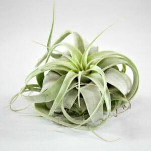 тилландсии, тилландсии купить, воздушные растения, воздушные растения купить, аэрофиты, эпифиты