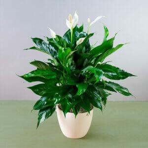 Спатифиллумы, Спатифиллум, Спатифиллум купить, мирная лилия, цветок женское счастье, женское счастье купить