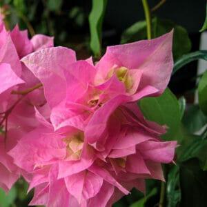 Bougainvillea Double Pink, бугенвиллия Double Pink, бугенвиллия махровая, Бугенвиллия Golden Purple
