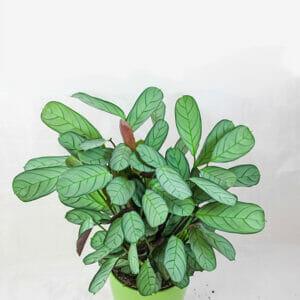 Maranta Leuconera Mint, маранта купить, Maranta Leuconera Amabilis Mint, Maranta Amabilis Mint