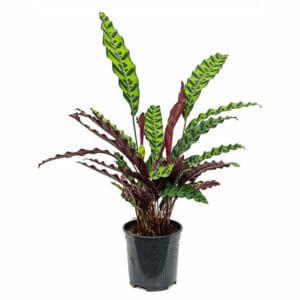 Калатея лансифолия, Calathea lancifolia, Калатея лансифолия купить, Calathea lancifolia купить
