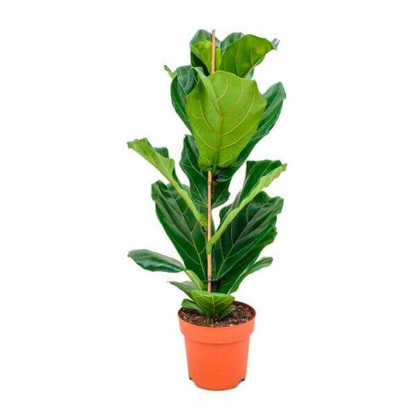 фикус лирата купить, фикус большой купить, Ficus lyrata, фикус лирата, фикус лирата самара