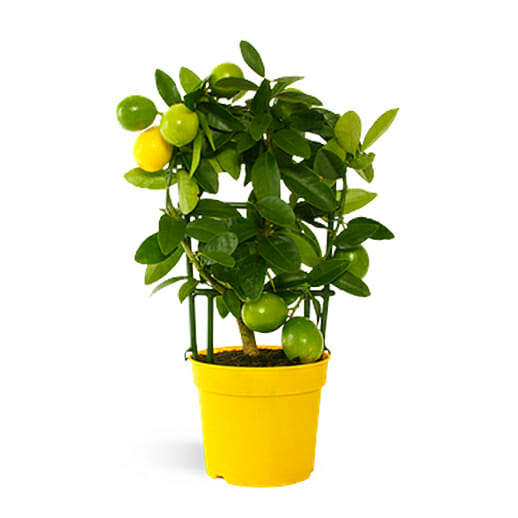 лимонелла, лимонелла купить, лаймкват купить, лайм купить