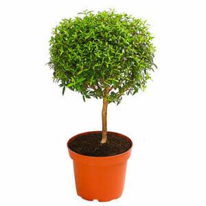 мирт купить, Миртовое дерево купить, Мирт обыкновенный купить, Мирт обыкновенный