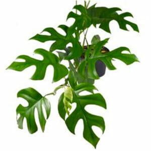 филодендрон минима, филодендрон минима купить,Philodendron Minima купить