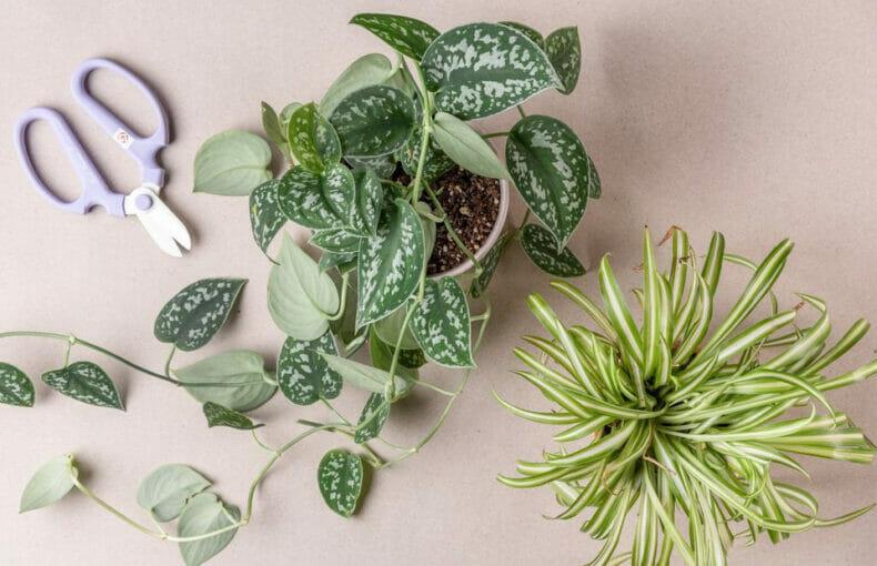 череноквание растений, как размножать черенками