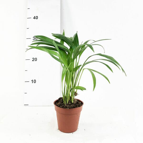 Дипсис желтоватый, Дипсис, Дипсис купить, Dypsis lutescens chrysalidoca, Пальма Дипсис