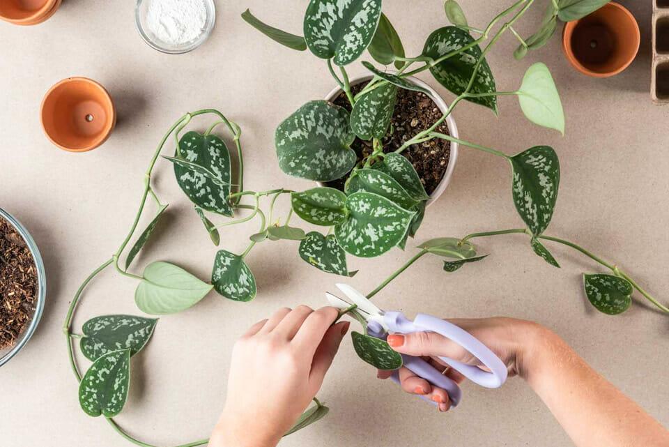 черенкование, размножение растений, как размножать растения, размножить растение, как черенковать, как правильно черенковать