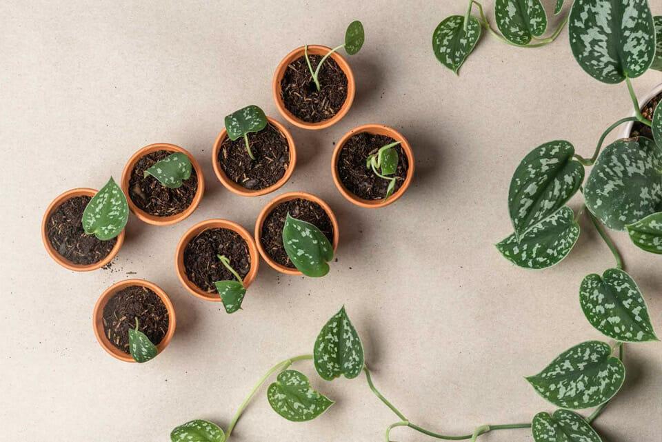 размножить растение, как черенковать, как правильно черенковать