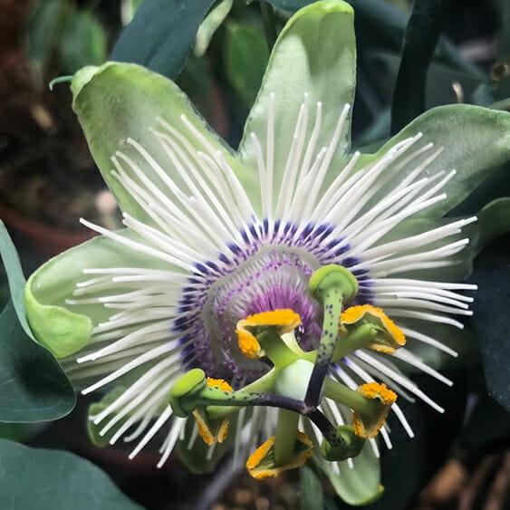 Пассифлора White Mirror,Passiflora White Mirror^ Пассифлора White Mirror купить, пассифлора купить,