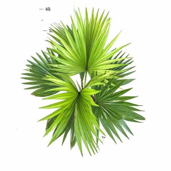 Ливистона круглолистная, Livistona Rotundifolia, пальма Ливистона, Livistona Rotundifolia купить, Ливистона купить, пальма Ливистона купить