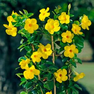 мандевилла желтая, мандевилла желтая купить, Mandevilla diamantina Opal Citri