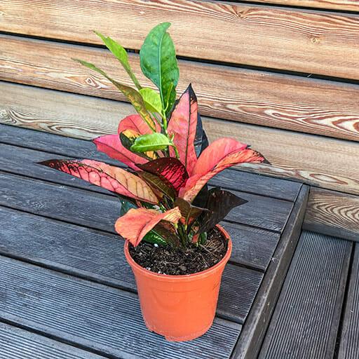 Codiaeum variegatum pictum Mrs Iceton, Codiaeum variegatum pictum Mrs Iceton купить, кротон вариегатный купить, кротон вариегатный