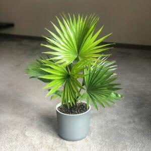 пальма купить, пальма в самаре, пальма купить самара, ливистона, ливистоная купить