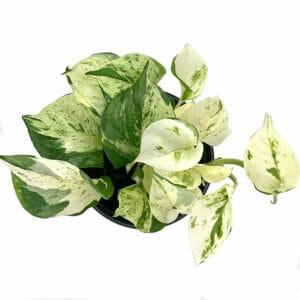 epipremnum happy leaf, Эпипремнум Хэппи Лиф