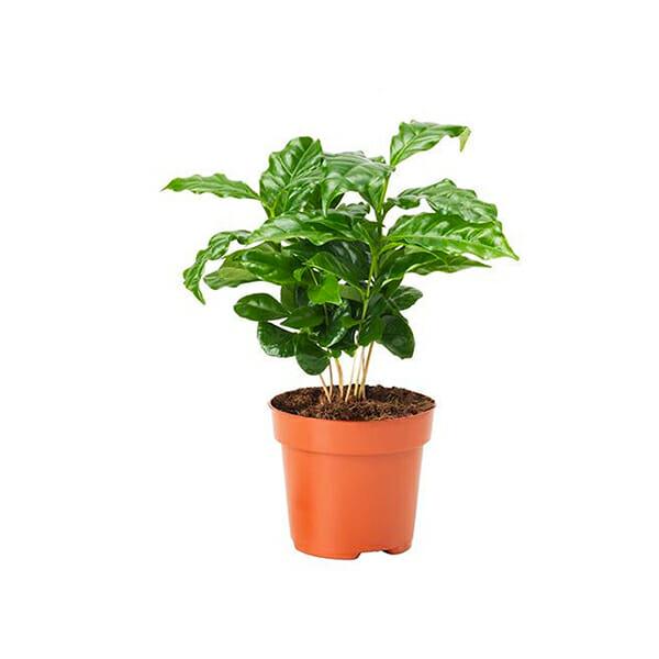 растение кофе купить, кофе растение купить