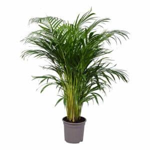пальма дипсис купить