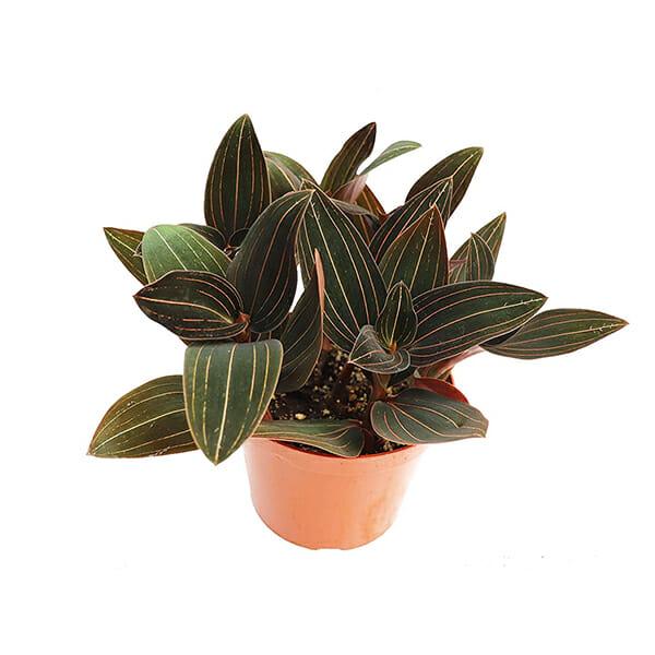 лудизия купить, драгоценная орхидея купить